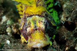 BD-130401-Tulamben-8762-Dendrochirus-brachypterus-(Cuvier.-1829)-[Shortfin-turkeyfish].jpg